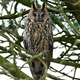 Northern long-eared owl (Asio otus) - PhotoDune Item for Sale
