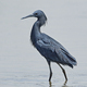Black heron (Egretta ardesiaca) - PhotoDune Item for Sale