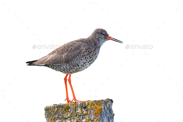 Common redshank, tringa totanus, standing on a pole isolated on white - Stock Photo - Images