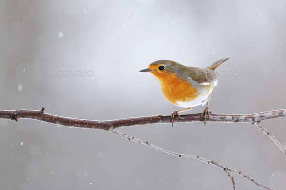 European robin with orange feathers on breast sitting on a twig in winter - Stock Photo - Images