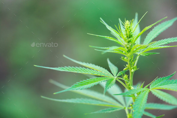 Close up male cannabis plant with pollen sacks - Stock Photo - Images