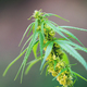 Close up male cannabis plant with pollen sacks - PhotoDune Item for Sale