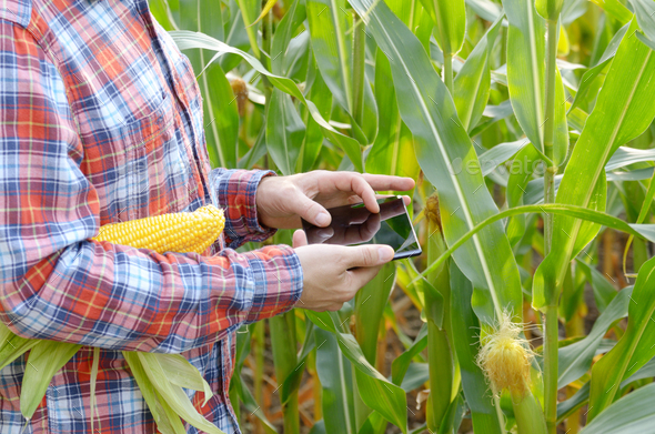 Farmer using tablet computer for inspecting maize corn field - Stock Photo - Images