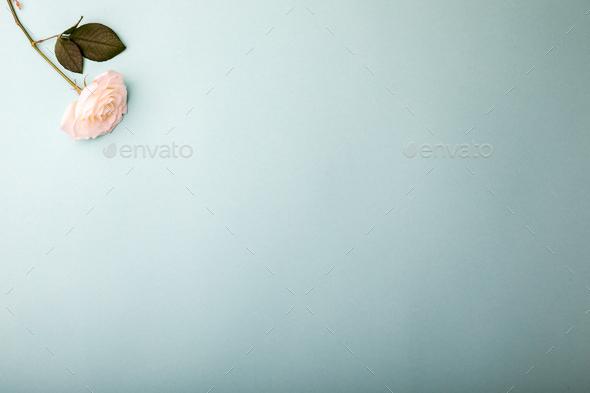 White White Rose.Holiday Day Valentine ,Birthday,Greeting Card,Gift. - Stock Photo - Images
