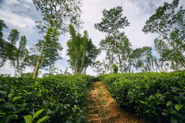 Footpath throught tea plantation - Stock Photo - Images
