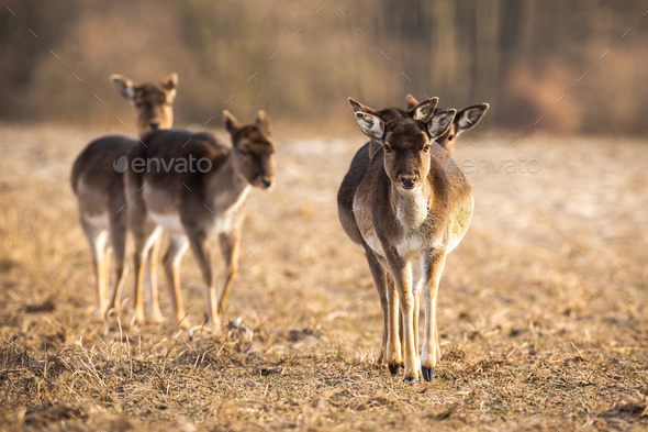 Front view of fallow deer herd approaching on a meadow in spring - Stock Photo - Images