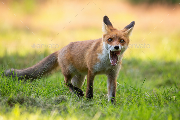 Red fox cub yawning with mouth open and licking with pink tongue - Stock Photo - Images