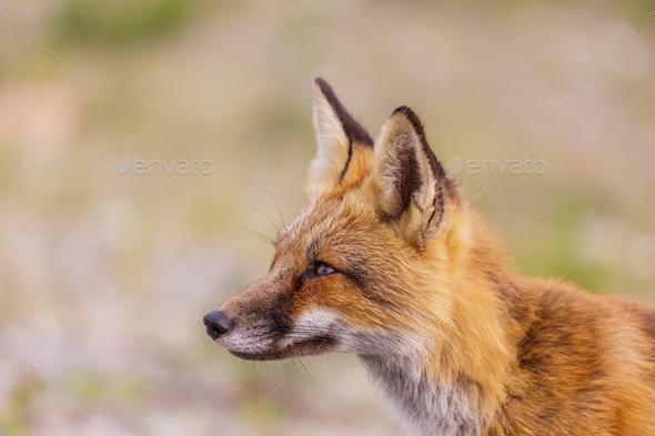 Fox - Stock Photo - Images