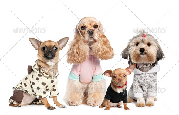 Group of 4 dogs dressed : chihuahua,shih tzu and Cocker Spaniel - Stock Photo - Images