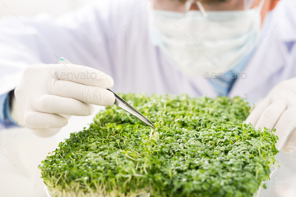 Checking Quality of GMO Plants - Stock Photo - Images