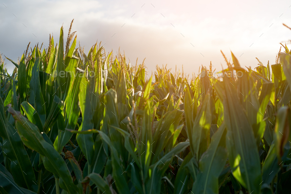 Detail of the top of a full size corn plantation just before the collection - Stock Photo - Images