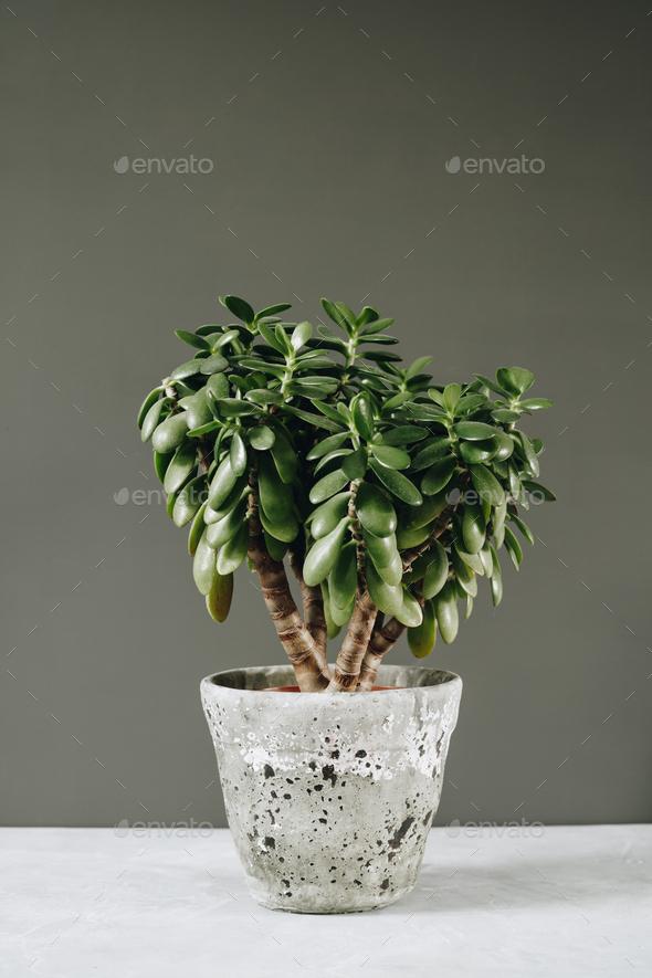 Houseplant Crassula ovata jade plant money tree opposite the wall. - Stock Photo - Images