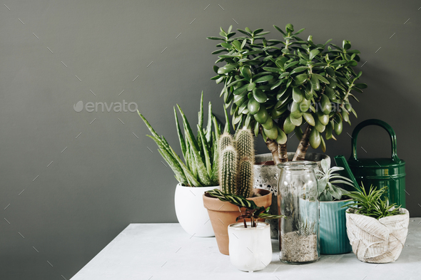 Collection of various cactus and succulent plants in different pots. - Stock Photo - Images