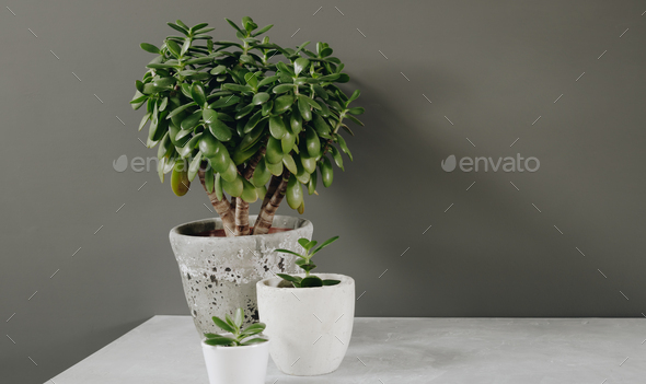 Houseplant Crassula ovata jade plant money tree opposite the wall. - Stock Photo - Images