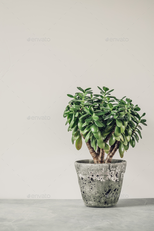 Houseplant Crassula ovata jade plant money tree opposite the white wall. - Stock Photo - Images