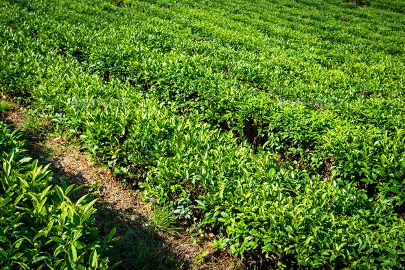 Green tea farm in spring. Tea plantation - Stock Photo - Images