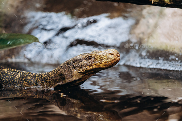 Papuan monitor Lizard climbs out of the water in the national reserve - Stock Photo - Images