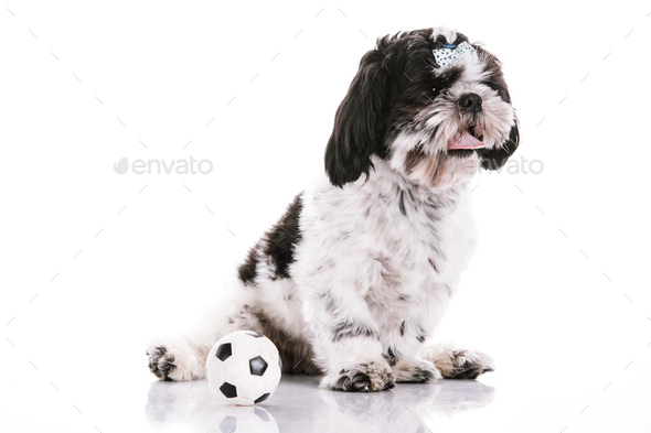 Dog on a white background with a ball - Stock Photo - Images