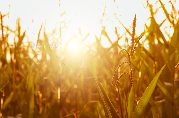 Maize corn green field summer time at sunset. Agriculture industrial background - Stock Photo - Images