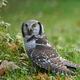 Northern Hawk Owl (Surnia ulula) - PhotoDune Item for Sale
