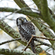 Northern Hawk Owl (Surnia ulula) - PhotoDune Item for Sale