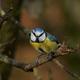 Blue Tit (Cyanistes caeruleus) - PhotoDune Item for Sale