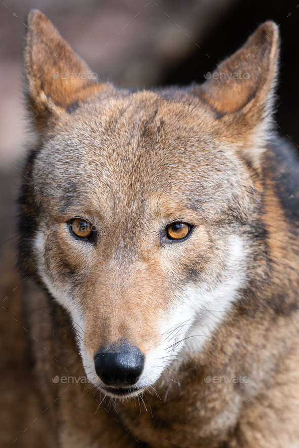 Red Wolf - Stock Photo - Images