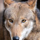 Red Wolf - PhotoDune Item for Sale