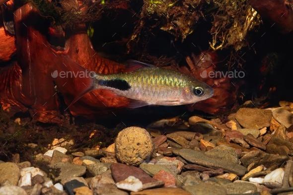 Cyprinid fish Enteromius rohani in freshwater aquarium - Stock Photo - Images