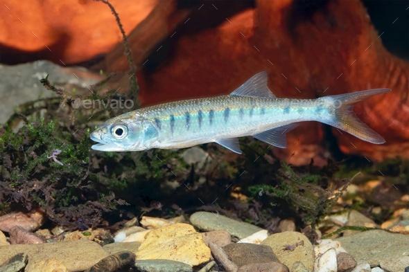 Senegal minnow Raiamas senegalensis in freshwater aquarium - Stock Photo - Images