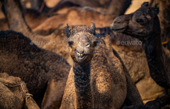 Camels at the Pushkar Fair, also called the Pushkar Camel Fair - Stock Photo - Images