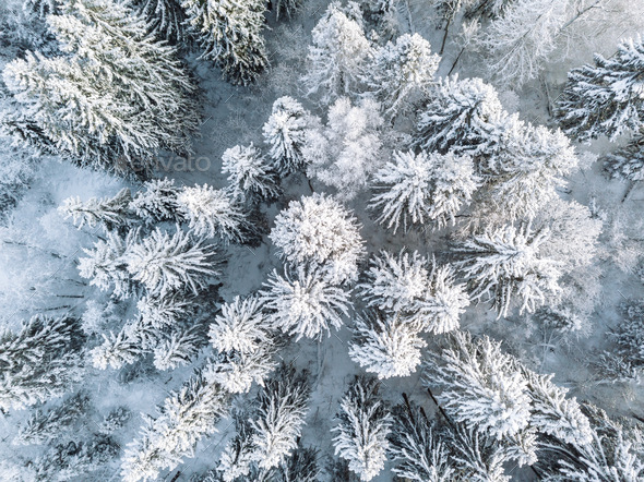 Aerial top view of snow covered winter  forest trees in Finland. - Stock Photo - Images