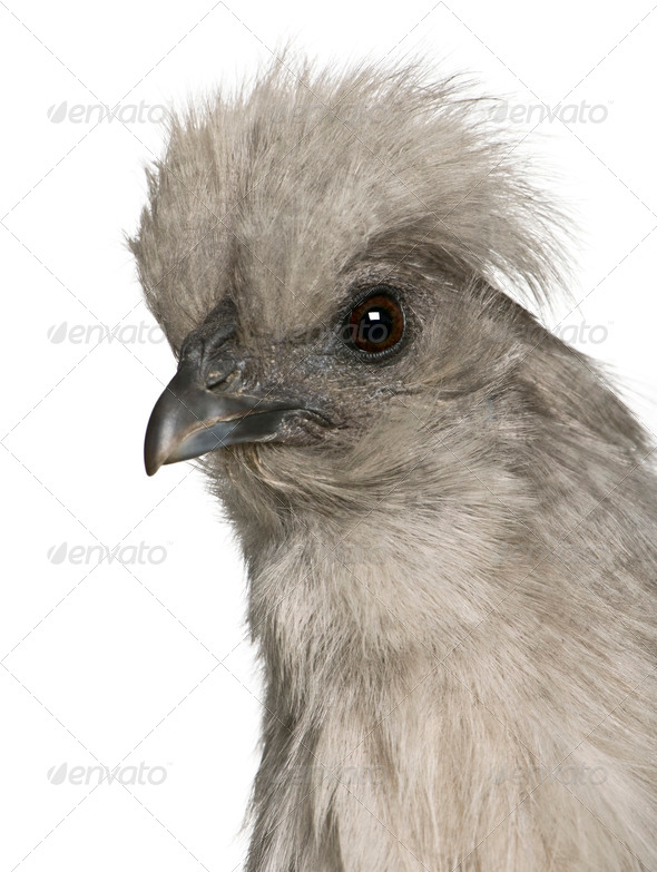 Grey Silkie hen, 1 year old, standing in front of white background - Stock Photo - Images