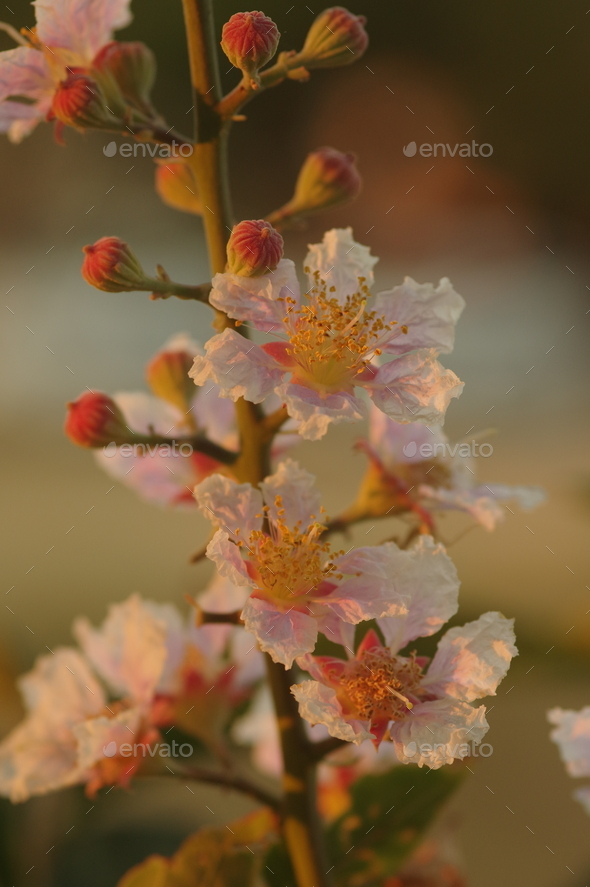 Inthanin flowers in bloom - Stock Photo - Images