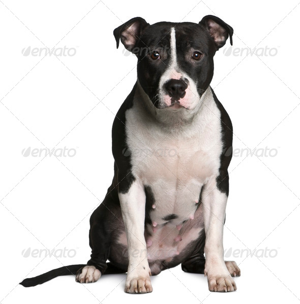 American Staffordshire terrier, 11 months old, sitting in front of white background - Stock Photo - Images