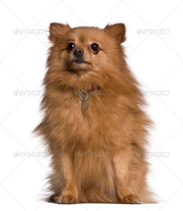 Spitz dog, 3 years old, sitting in front of white background - Stock Photo - Images