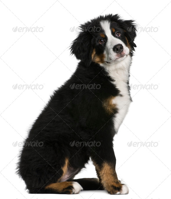 Bernese mountain dog Puppy, 5 months old, sitting in front of white background - Stock Photo - Images
