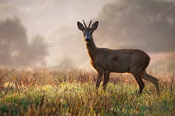 Interested roe deer buck watching on a field wet with dew in the morning - Stock Photo - Images