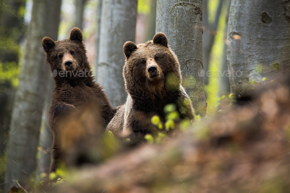 Female of brown bear together with her cub in the woods - Stock Photo - Images