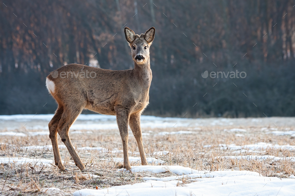 Young roe deer back with small antlers standing and looking to camera in winter - Stock Photo - Images