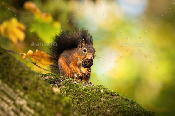 Red squirrel sitting on a moss covered branch and holding a nut in autumn - Stock Photo - Images