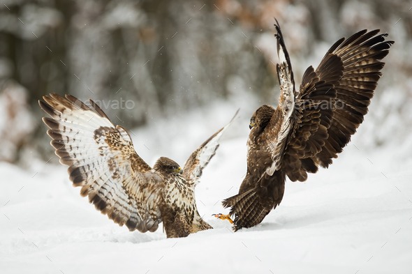 Two common buzzards fighting with wings open on snow in winter - Stock Photo - Images