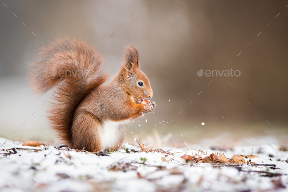 Wild red squirrel holding a nut in park and standing on snow - Stock Photo - Images