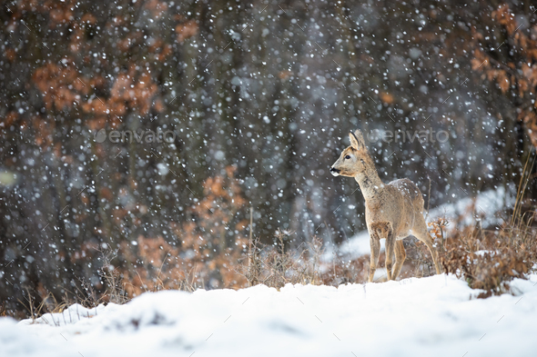 Female roe doe standing on a meadow covered with snow and forest in background - Stock Photo - Images