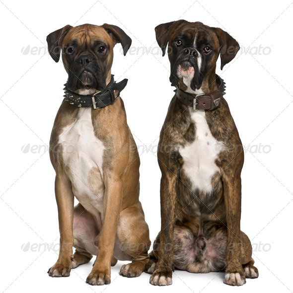 Two Boxer dogs, 1 year old, sitting in front of white background - Stock Photo - Images