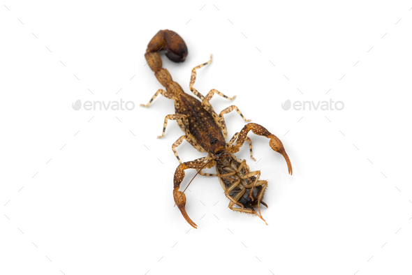 African venom Scorpion isolated on white background - Stock Photo - Images