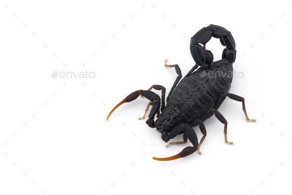African venom Scorpion isolated on white background - Stock Photo - Images