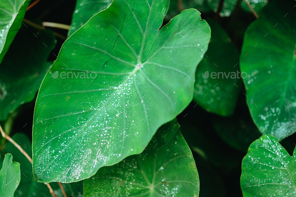 Water drop on Lotus leaf, Deep green colored leaves, background - Stock Photo - Images