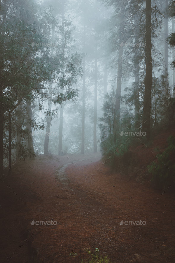 Road in a mysterious pine forest. Rainy and misty weather near Cova crater on Santo Antao Island - Stock Photo - Images