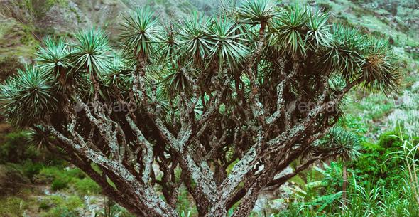 Dragon Tree on Santo Antao, Cape Verde Cabo Verde - Stock Photo - Images